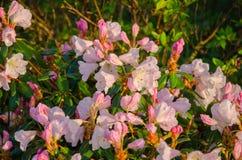 Fiori rosa-chiaro dell'azalea contro lo sfondo delle foglie verdi immagine stock