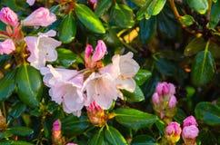 Fiori rosa-chiaro dell'azalea contro lo sfondo delle foglie verdi fotografie stock