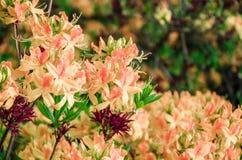 Fiori rosa-chiaro dell'azalea contro lo sfondo delle foglie verdi fotografia stock libera da diritti