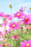 Fiori rosa con i mezzi gialli fotografia stock