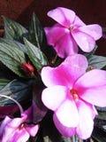 fiori rosa con il germoglio rosso Immagine Stock Libera da Diritti