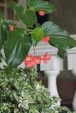 Fiori rosa con le piante verdi davanti al balcone bianco Fotografia Stock