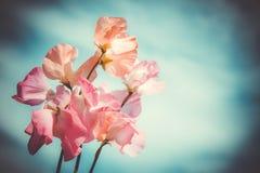 Fiori rosa contro il cielo nuvoloso Immagini Stock