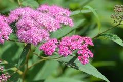 Fiori rosa contro lo sfondo dei verdi di estate Fotografie Stock Libere da Diritti