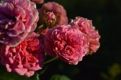 Fiori rosa dappertutto Fotografia Stock Libera da Diritti