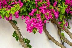 Fiori rosa del Bougainville contro una parete bianca Fotografia Stock