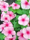 Fiori rosa del Catharanthus Immagine Stock