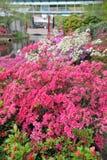 Fiori rosa del cespuglio della buganvillea Fotografie Stock
