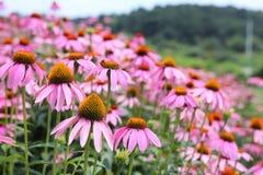Fiori rosa del cono Fotografia Stock
