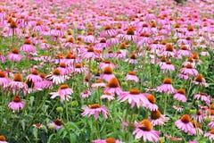 Fiori rosa del cono Fotografie Stock Libere da Diritti