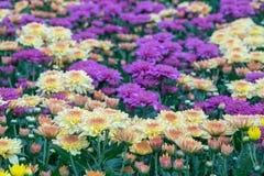 Fiori rosa del crisantemo in un giardino Le mummie a volte chiamate fioriscono immagini stock