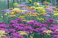 Fiori rosa del crisantemo in un giardino Le mummie a volte chiamate fioriscono fotografie stock libere da diritti
