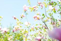 Fiori rosa del fiore della magnolia Fotografie Stock Libere da Diritti