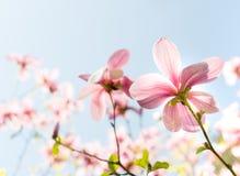 Fiori rosa del fiore della magnolia Fotografie Stock