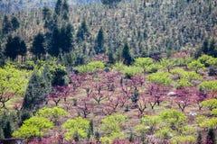 Fiori rosa del fiore della pesca che fioriscono all'azienda agricola Fotografia Stock Libera da Diritti