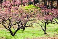 Fiori rosa del fiore della pesca che fioriscono all'azienda agricola Fotografia Stock