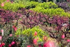 Fiori rosa del fiore della pesca che fioriscono all'azienda agricola Immagine Stock Libera da Diritti
