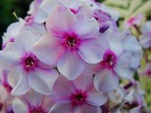 Fiori rosa del flox nel giardino Ciò è fiori del flox È tema delle stagioni Immagine Stock Libera da Diritti