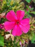 Fiori rosa del flox nel giardino Ciò è fiori del flox È tema delle stagioni Immagini Stock Libere da Diritti