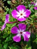 Fiori rosa del flox nel giardino Ciò è fiori del flox È tema delle stagioni Fotografia Stock