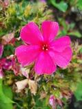 Fiori rosa del flox nel giardino Ciò è fiori del flox È tema delle stagioni Fotografia Stock Libera da Diritti