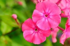 Fiori rosa del flox sul letto di fiore immagine stock