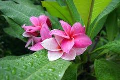 Fiori rosa del frangipane Fotografie Stock Libere da Diritti