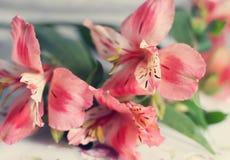 Fiori rosa del giglio Immagini Stock