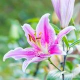 Fiori rosa del giglio Fotografie Stock Libere da Diritti