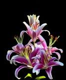 Fiori rosa del giglio Fotografie Stock