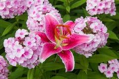 Fiori rosa del giglio del fuoco e del flox Fotografie Stock