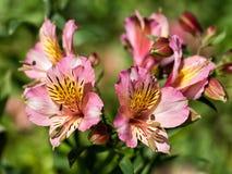 Fiori rosa del giglio, naturalizzati Alstroemeria Immagini Stock Libere da Diritti
