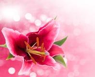 Giglio rosa immagini stock