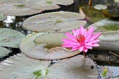 Fiori rosa del loto Immagini Stock Libere da Diritti