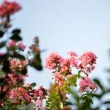 Fiori rosa del mirto di crêpe, immagine quadrata Fotografia Stock Libera da Diritti