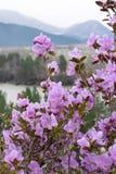 Fiori rosa del primo piano su un fondo delle montagne, del fiume e di una valle fotografia stock libera da diritti