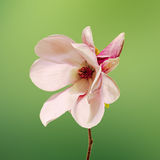 Fiori rosa del ramo della magnolia, fine su, disposizione floreale, isolata Immagini Stock