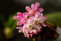 Fiori rosa del ribes che producono le bacche commestibili Fotografia Stock