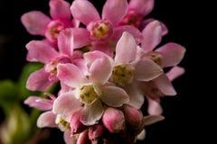 Fiori rosa del ribes che producono le bacche commestibili Fotografia Stock Libera da Diritti