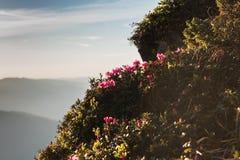 Fiori rosa del rododendro sulle montagne carpatiche di estate Immagine Stock