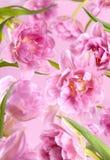 Fiori rosa del tulipano della peonia su fondo rosa immagini stock