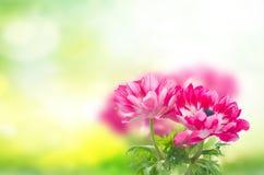 Fiori rosa dell'anemone fotografia stock