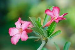 Fiori rosa dell'azalea Fotografia Stock