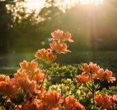 Fiori rosa dell'azalea al tramonto fotografia stock libera da diritti