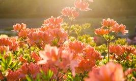 Fiori rosa dell'azalea al tramonto immagine stock