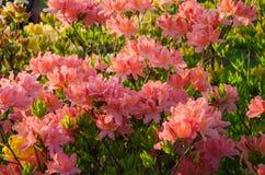 Fiori rosa dell'azalea contro un fondo verde fotografie stock