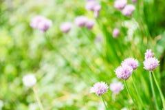 Fiori rosa dell'erba della erba cipollina sul prato verde di estate Fotografia Stock