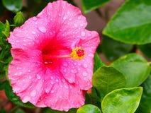 Fiori rosa dell'ibisco del fiore Fotografie Stock