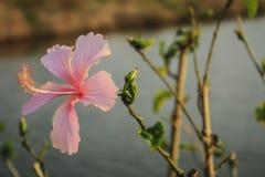 Fiori rosa dell'ibisco in giardino Immagine Stock