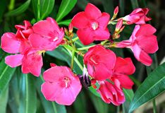 Fiori rosa dell'oleandro in foglie verdi Immagini Stock